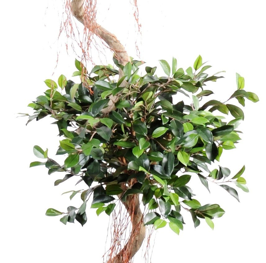 Ficus artificiel spirale 2 t tes 175 cm bois naturel 199 for Ficus artificiel