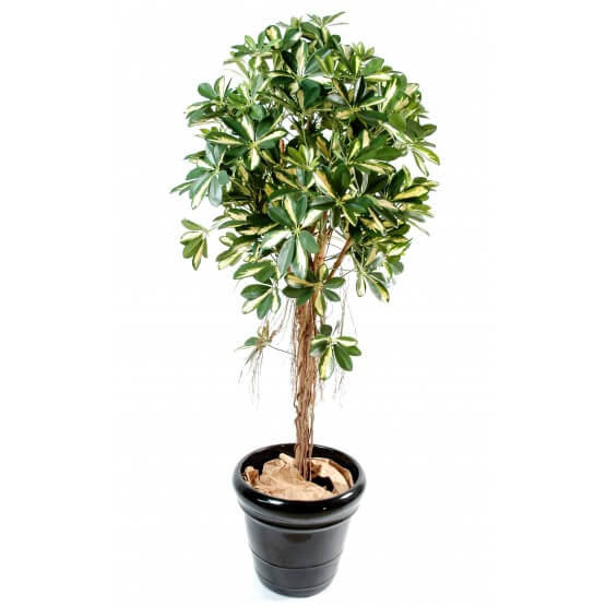 Scheffléra artificiel baby tree 150 cm