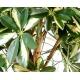 Scheffléra artificiel baby tree 150 cm