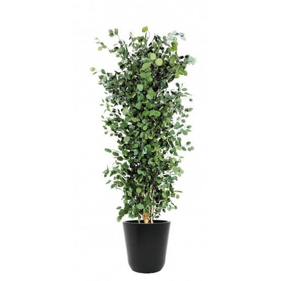 Eucalyptus stabilisé populus
