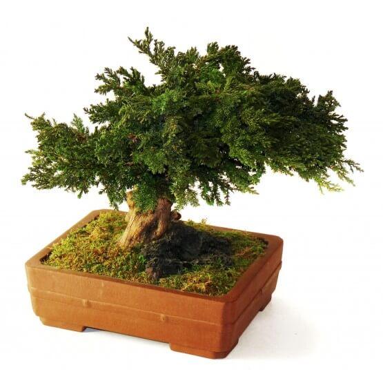 Bonsaï Stabilisés Juniperus
