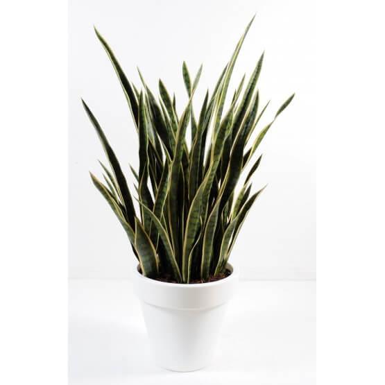 Sanseveria en pot rond blanc 130 cm