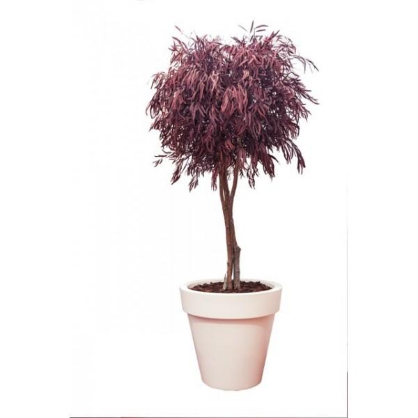 arbre eucalyptus nicoly stabilis 360 00. Black Bedroom Furniture Sets. Home Design Ideas