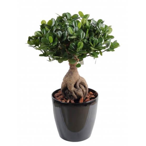 Ficus artificielPanda Ginseng - Hauteur 60 cm