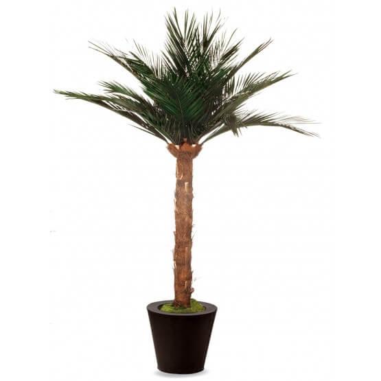 Palmier Phoénix Stabilisé 21 Palmes
