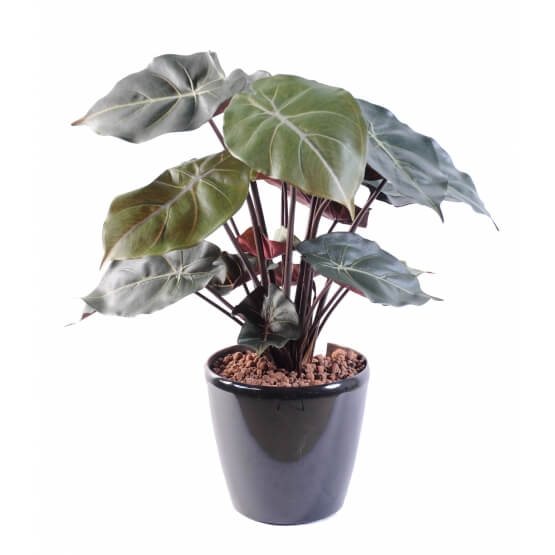 Syngonium Podophyllum en pot - 55 cm