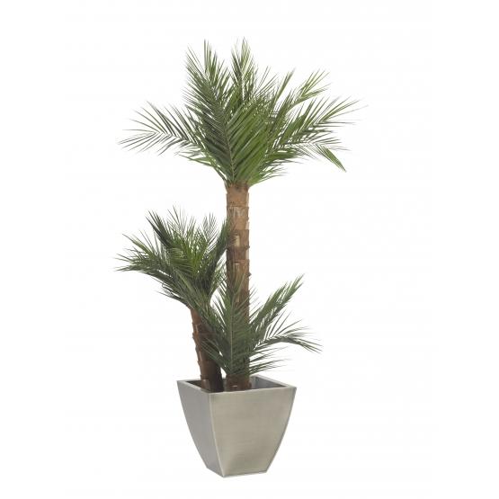 Phoenix stabilisé 3 tronc 150 cm