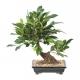 Bonsaï artificiel Ficus 38 CM