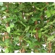 Hêtre artificiel Grandifolia haie